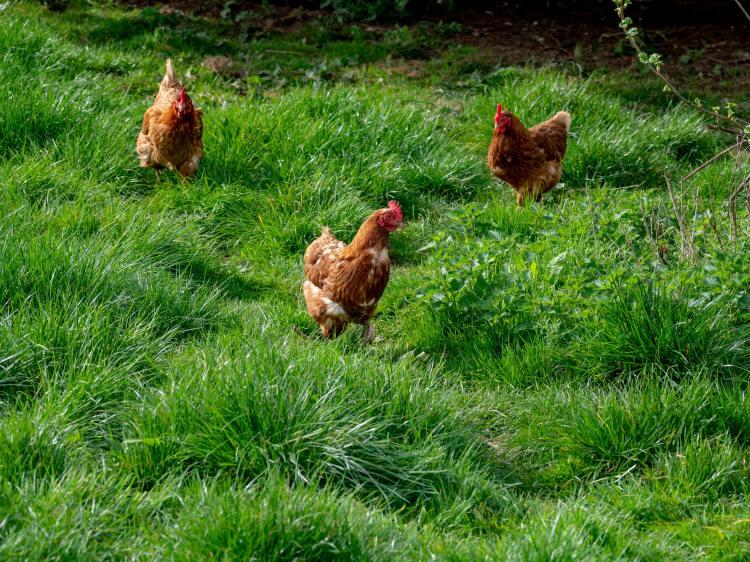 Hühner im Gras